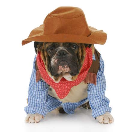 english bulldog puppy: english bulldog wearing western hat and cowboy shirt with reflection on white background