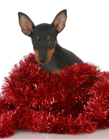 brown: toy manchester puppy tangled in red garland on white background