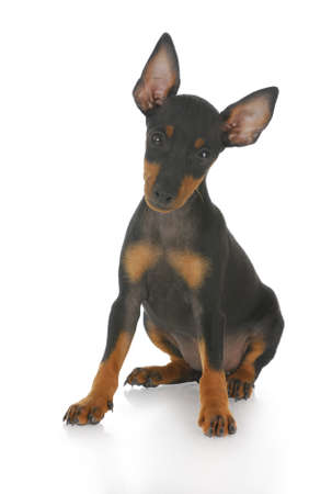toy manchester terrier puppy sitting with reflection on white background photo