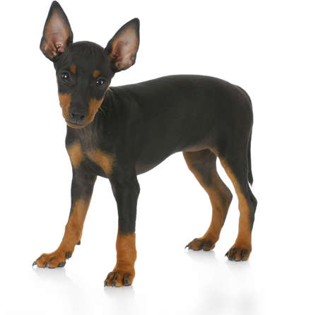 toy manchester terrier puppy standing with reflection on white background - eight weeks old