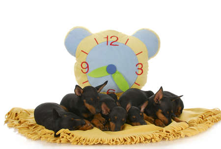 litter of toy manchester terrier puppies sleeping on blanket with clock behind photo