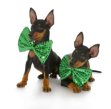 matching: dos cachorros de manchester terrier de juguete vistiendo coincidencia verdes lazos de proa con una reflexi�n sobre fondo blanco