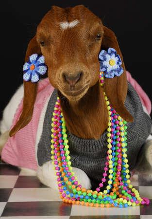 cabras: cabra vistiendo ropa femenina y joyas sobre fondo negro  Foto de archivo