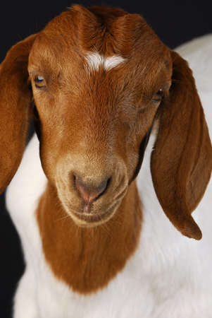 boer: Retrato de doeling de cabra hembra sobre fondo negro - raza pura boer sur africano