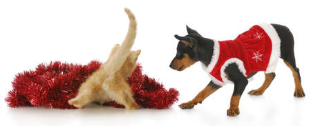 funny kitten from the backside playing in red christmas garland as cute puppy looks on photo