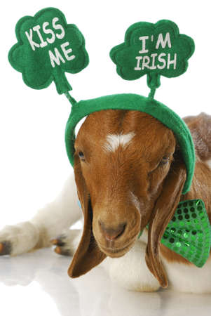 goat dressed up for st patricks day - kiss me i'm irish - purebred south african boer doeling Stock Photo - 7724956