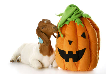 goat and halloween pumpkin - purebred south african boer doe