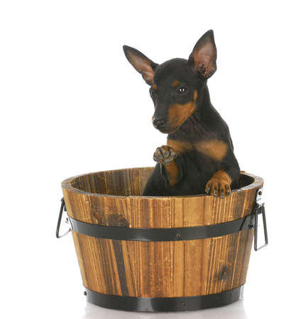 toy manchester terrier puppy sitting in a wooden bucket with reflection on white background photo