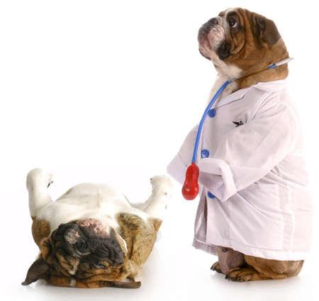 veterinario: obesidad animal - bulldog vestida como m�dico de pie al lado de pug establecen en escalas de peso