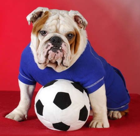 english bulldog wearing blue shirt with stuffed soccer ball sitting on red background photo
