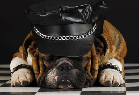 english bulldog wearing black leather dressed up like motorcycle gang Stok Fotoğraf