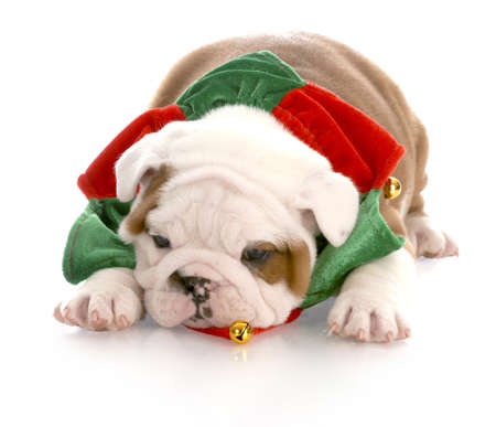 old english: christmas puppy - seven week old english bulldog puppy