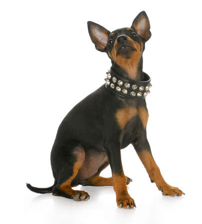 toy manchester terrier puppy wearing leather studded collar looking up with reflection on white background Stock Photo - 7799167