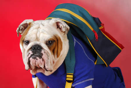 english bulldog wearing blue shirt and carrying backpack on red background photo