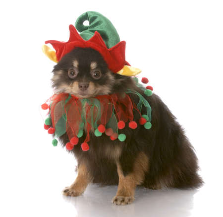 pomeranian: brown and tan pomeranian puppy dressed up as santa elf with reflection on white background
