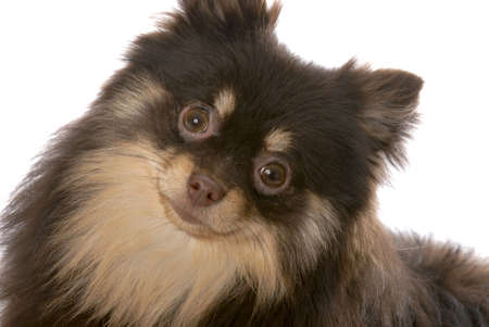 brown and tan pomeranian puppy on white background Stock Photo - 7799196