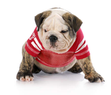 english bulldog puppy wearing red football jersey with reflection on white background