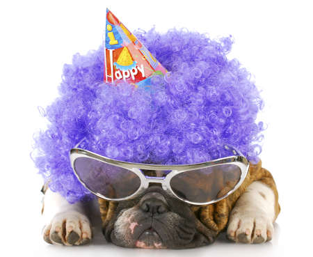wig: english bulldog dressed up like a clown with birthday hat on white background
