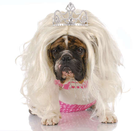 english bulldog dressed up like girl with blonde wig and tiara with reflection on white background photo