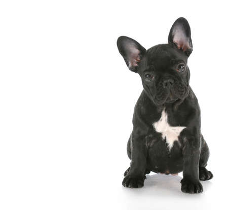 frenchie: french bulldog sitting looking at viewer with reflection on white background Stock Photo