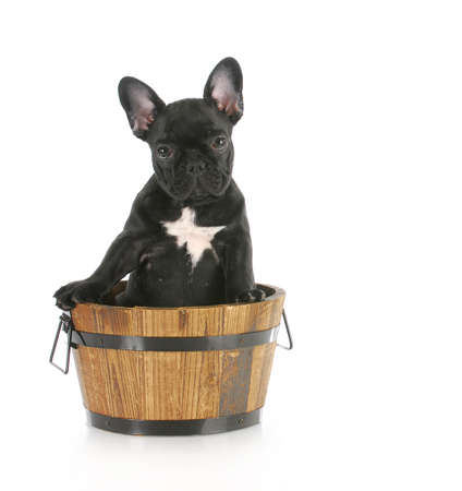 french bulldog puppy sitting in a wooden bucket with reflection on white background photo