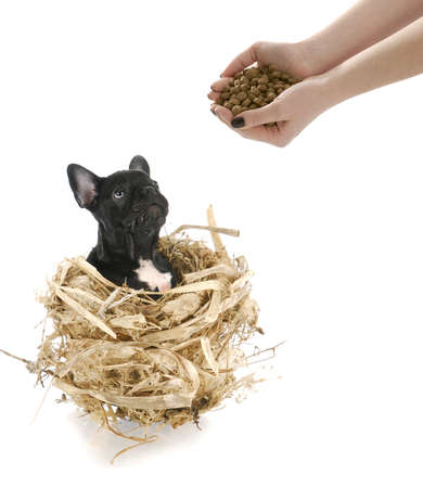 french bulldog sitting in a nest waiting to be fed with reflection on white background Stock Photo - 7825281