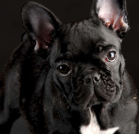 french bulldog puppy: french bulldog puppy portrait on black background
