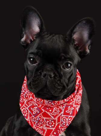 french bulldog wearing red scarf bandanna on black background photo