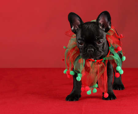 french bulldog wearing christmas scarf standing on red background photo