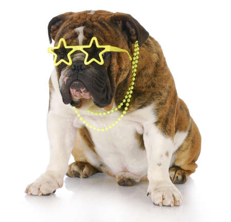 laughable: english bulldog wearing star sunglasses and necklace with reflection on white background