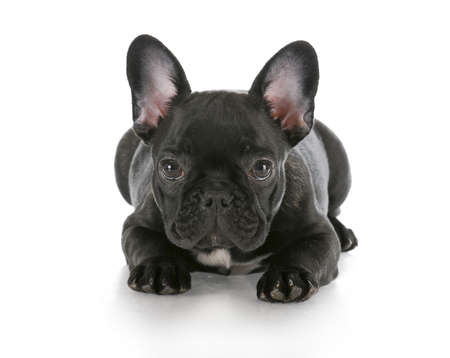 frenchie: french bulldog puppy laying down with reflection on white background