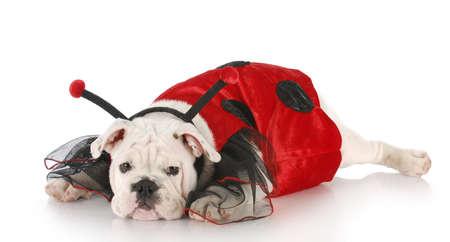 english bulldog wearing lady bug costume with reflection on white background photo