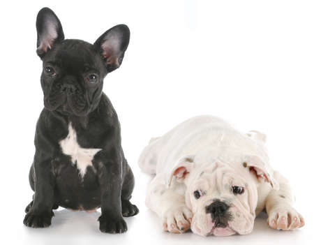 french bulldog puppy: french bulldog and english bulldog puppy side by side - opposites