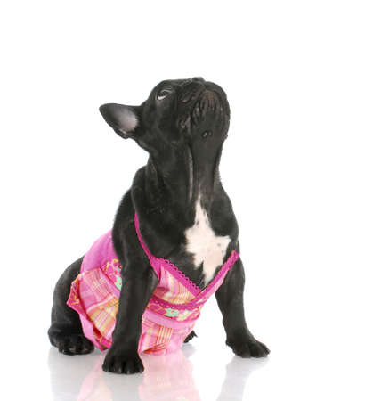 female french bulldog wearing pink dress looking up with reflection on white background Stock Photo - 7879425