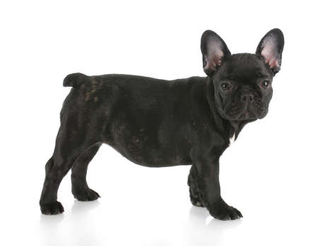 brindle: black brindle french bulldog standing with reflection on white background