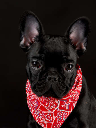 french bulldog wearing red bandanna on black background photo