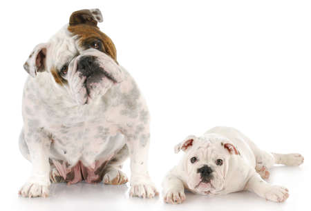 english bulldog mother and twelve week old puppy together with reflection on white background photo