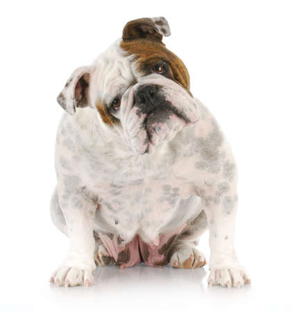 head tilted: english bulldog with head tilted looking at viewer with reflection on white background Stock Photo
