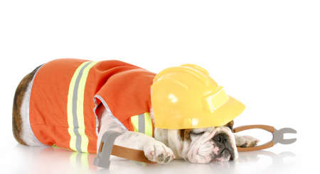 work force: english bulldog dressed up as construction worker sleeping on the job with reflection on white background