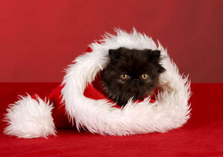 persian kitten sitting inside santa hat on red background
