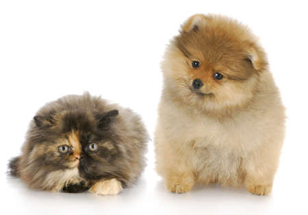 pomeranian puppy and persian kitten looking at viewer with reflection on white background 写真素材