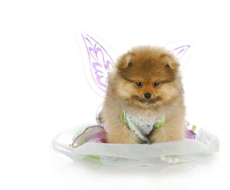 pomeranian puppy dressed up like an angel with reflection on white background Stockfoto