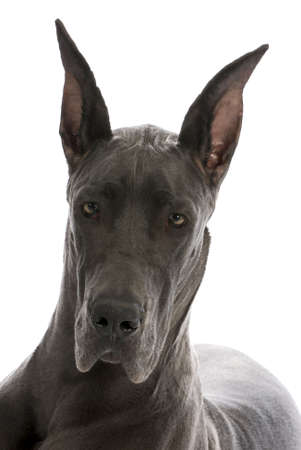 great dane puppy portrait - blue colour - 9 months old Stock Photo - 8164396