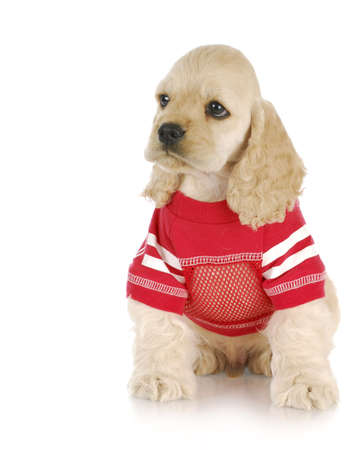 cute cocker spaniel puppy wearing red dog coat with reflection on white background