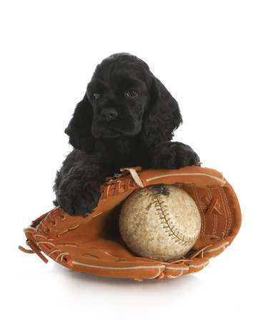 cocker spaniel puppy with baseball glove and leather ball with reflection on white background Reklamní fotografie