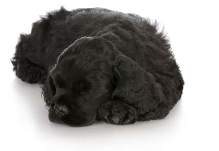 cocker spaniel puppy sleeping with reflection on white background