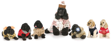 litter of cocker spaniel puppies with their mother all dressed in costumes with reflection on white background Reklamní fotografie