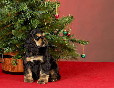 cocker spaniel puppy sitting beside christmas tree on red background