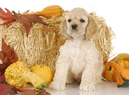 cocker spaniel puppy sitting with autumn colored decorations on white background