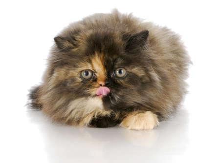 persian kitten licking lips with reflection on white background